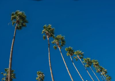 row of california palm trees